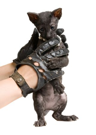 funny black kitten in hands in black leather gloves isolated on white Stock Photo - 5498943