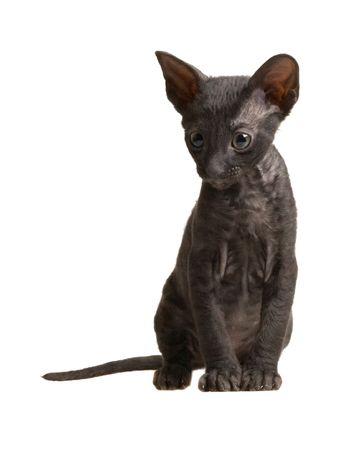funny cornish rex kitten isolated on white Stock Photo - 5498884