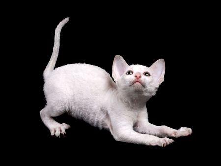 white funny kitten isolated on black Stock Photo - 5498849