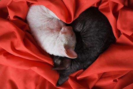 white and black cornish rex kittens sleeping in form of heart on red silk Stock Photo