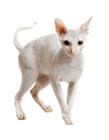cornish: cat of cornish rex breed standing on four paws isolated on white