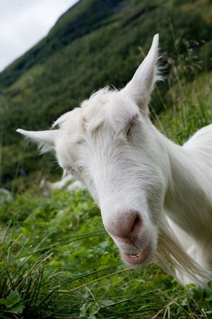 blindly: Portrait of a funny goat blindly on a green meadow