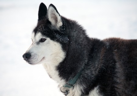northern sled dog portrait in profile photo