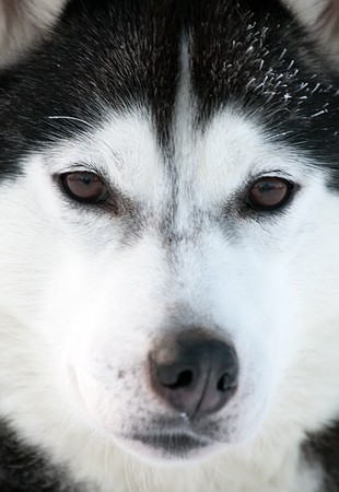 snout: closeup snout of northern sled dog