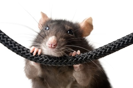funny grey rat clutching at rope on white background, snout closeup Stock Photo