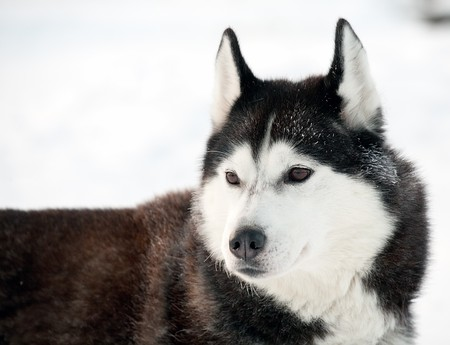 northern sled dog portrait photo