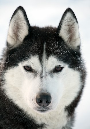 closeup snout of northern sled dog Stock Photo - 7935482