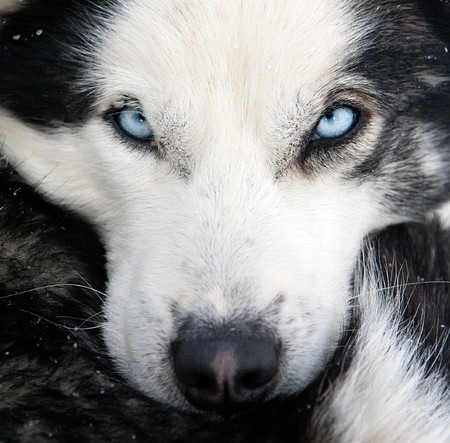 husky dog concept closeup portrait with focus on blue eyes photo
