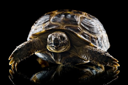 closeup of tortoise looking at camera isolated on black background photo