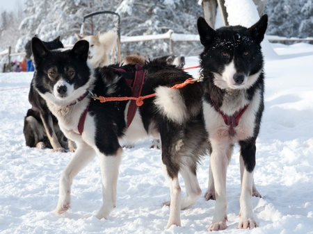 sled dog: sled dogs of Chukchi husky breed standing on snow Stock Photo