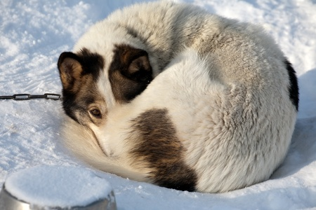 sad dog lying on snow with melancholy look of brown eyes photo