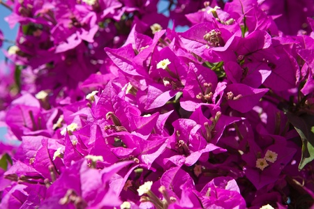 magenta flowers: a branch fully covered with magenta flowers closeup