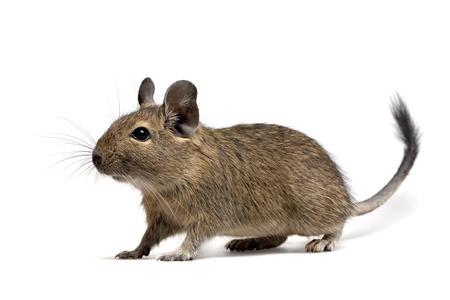 degu pet isolated on white