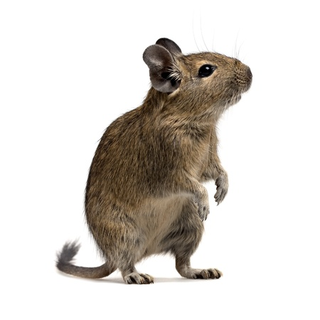 squirrel isolated: degu pet isolated on white