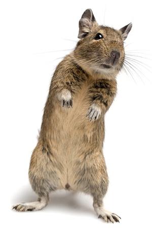 rats: Degu pet piedi in posa isolato su bianco Archivio Fotografico