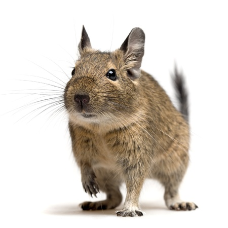 degu pet closeup portrait isolated on white