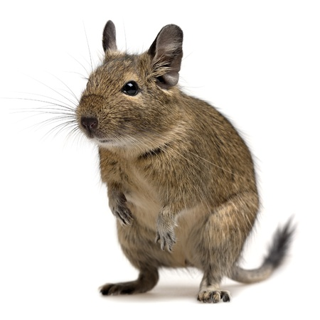 degu pet isolated on white