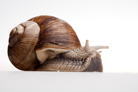 the cochlea: creeping  snail in profile isolated on white
