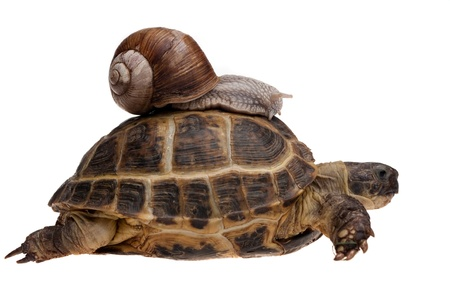 large turtle: small snail riding on a big tortoise isolated on white