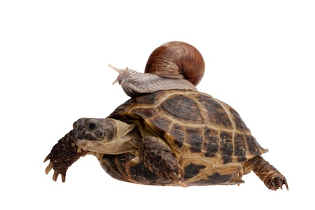 large turtle: small snail riding on a big turtle isolated on white