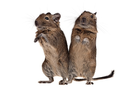 roedor: dos mascotas roedores degu de pie junto aislados en blanco