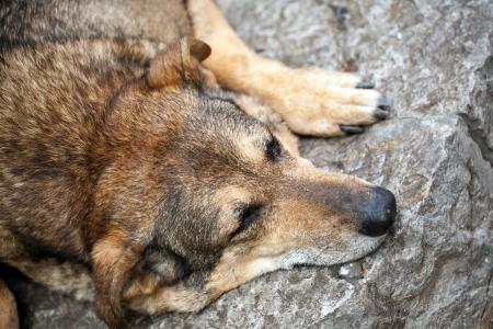 stray dog: closeup of snout of sleeping stray dog