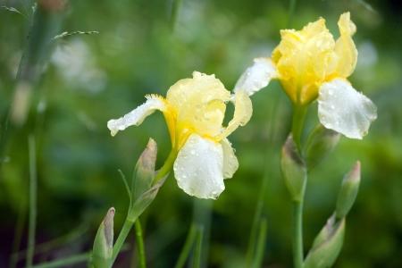 blueflag: iris amarillo flor con gotas de lluvia en p�talos closeup