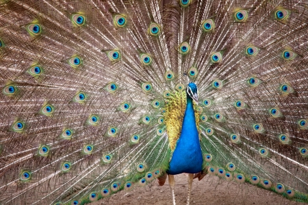 blue peafowl: peacock closeup on pattern of his train background Stock Photo