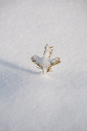 top of small fir tree sticking up from soft snow surface photo
