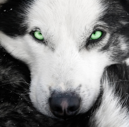 sled dog: husky dog snout closeup portrait with focus on bright green eyes