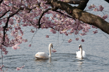two white swans in the water under branch of tree blooming with pink spring flowers photo