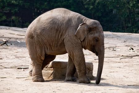 elephant head: full-length elephant side view