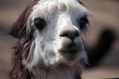 alpaca animal: cute lama alpaca animal closeup front view snout portrait Stock Photo