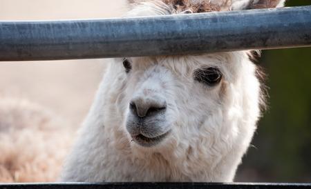 alpaca animal: cute llama alpaca animal closeup snout in the zoo