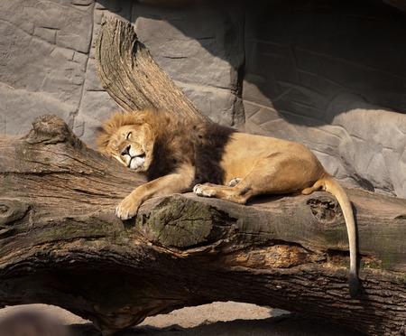 lions rock: big sleeping lion closeup on outdoor