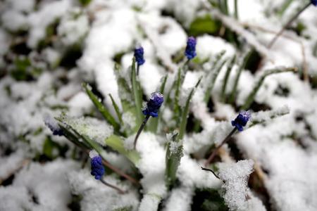 sudden: blue first flowers under sudden snow closeup