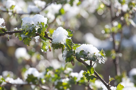 sudden: branch of gooseberry bush with green leaves under sudden snow on outdoor