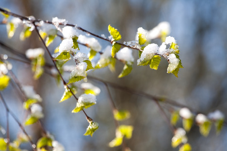 sudden: birch branch with young green leaves under sudden snow on outdoor
