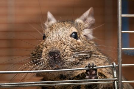 cute degu pet in open cage closeup  photo