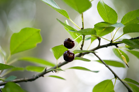 two red cherries on tree branch hanging among green leaves photo