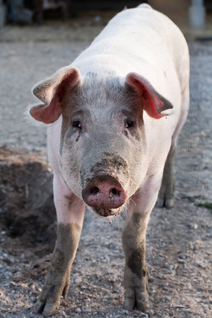 3 little pigs: funny pig standing on animal farm background Stock Photo