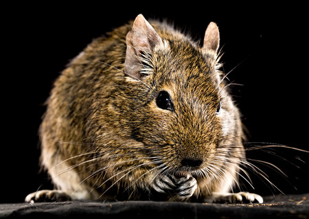 black squirrel: degu mouse gnawing pet food closeup on black background