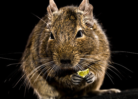 black squirrel: degu mouse with pet food in paws closeup on black background Stock Photo