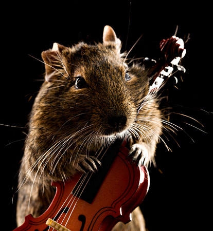 violoncello: degu mouse playing small violoncello on black background