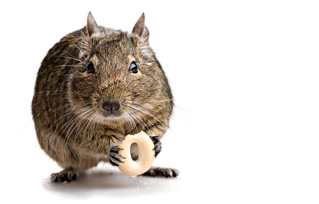gnaw: degu mouse gnawing bake isolated on white background Stock Photo