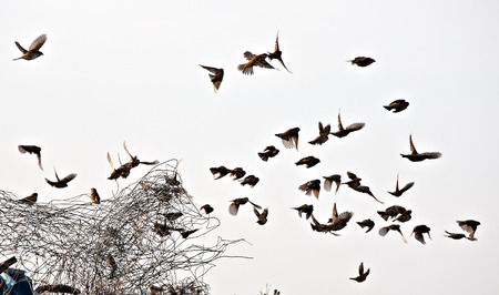 grey  sky: flock of small sparrows flying on metal wire and grey sky background Stock Photo