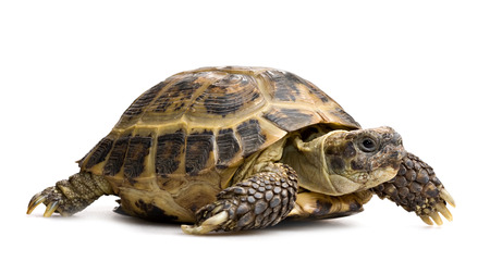 tortoise full-length closeup profile view isolated on white 스톡 콘텐츠