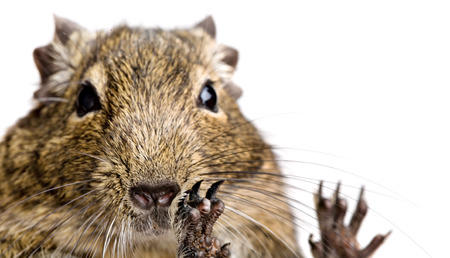 gnaw: hamster snout and funny paws closeup portrait isolated on white background Stock Photo