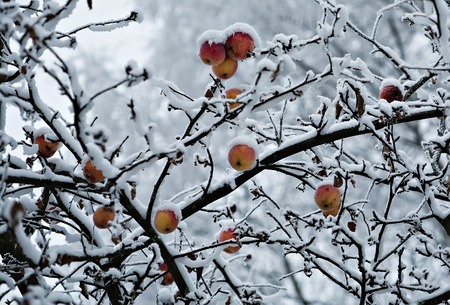 frost covered: tree branch with apples covered by snow in frozen garden Stock Photo