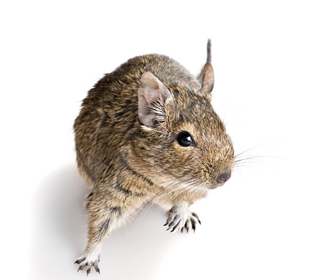 small cute curious rodent full-size front top view isolated on white background
